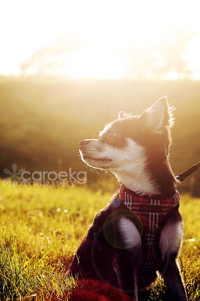 san francisco pet photographer dog portraits crissy field
